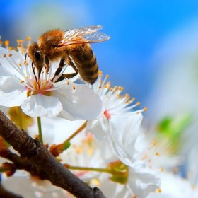 spring_bee_by_iustyn
