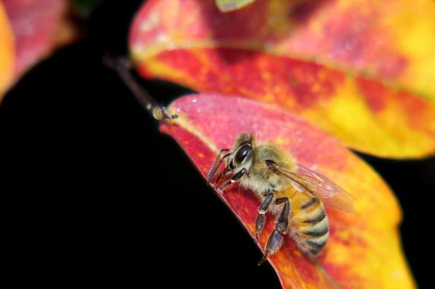 autumn-honey-bee-jason-politte